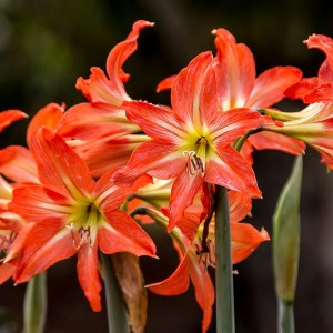 planta amarilis con flores