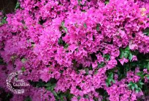 flores exoticas para jardin bugambilia