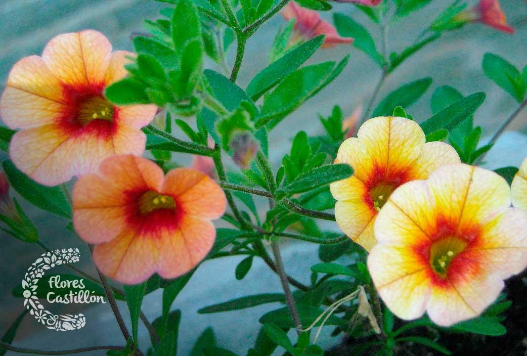 calibrachoa para jardin exotico