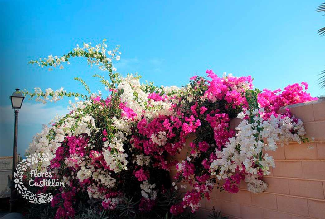 buganvilla planta para verano