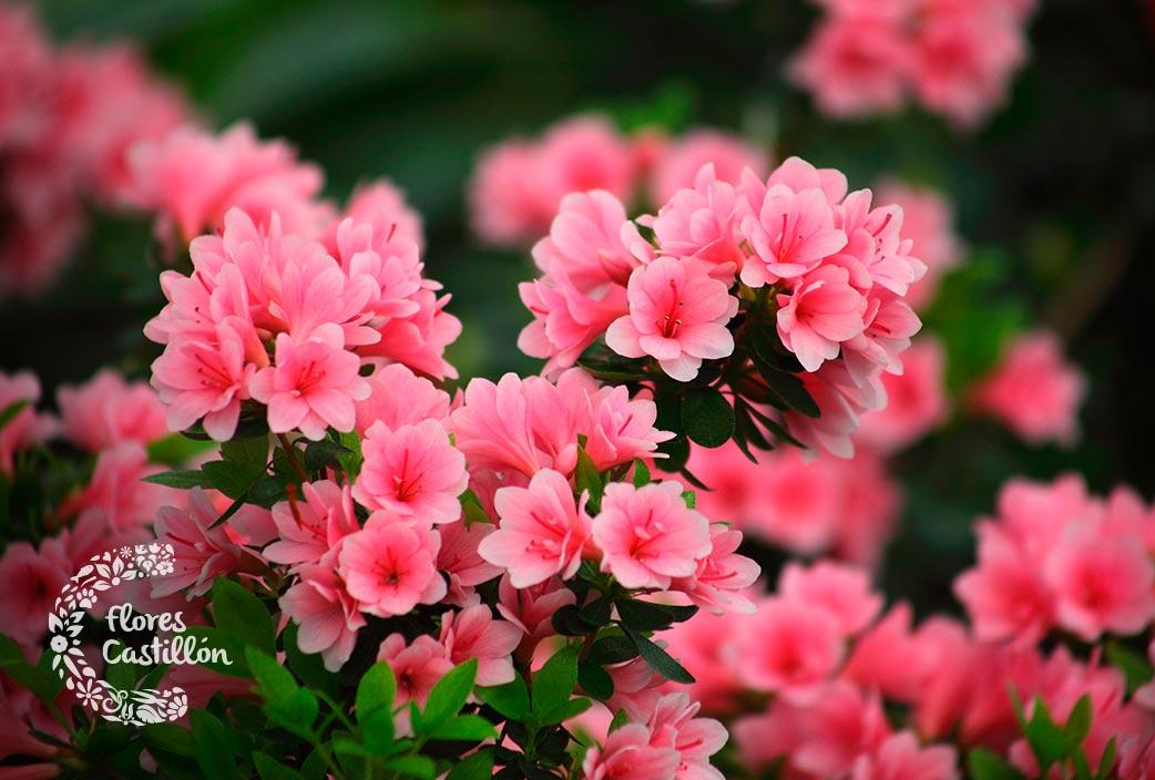 flor de azaleas