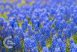 flores azules de jacintos