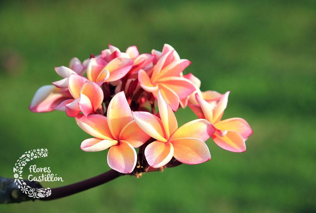 flores de la plumeria