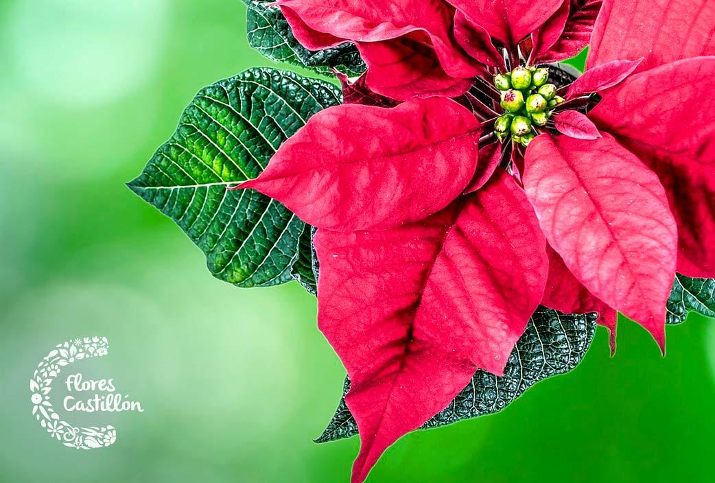 cuidados flor de pascua despues de navidad
