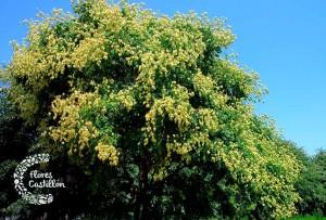 planta jabonero de la china
