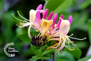 cuidados de la planta madreselva
