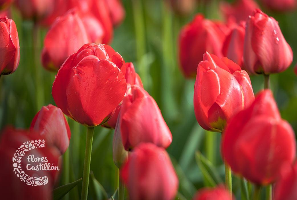 principales cuidados de los tulipanes