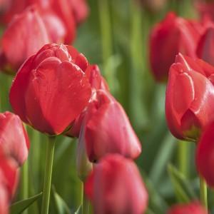 como cuidar los tulipanes