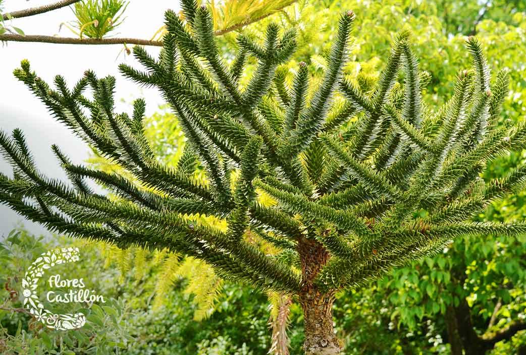 como cuidar la planta araucaria