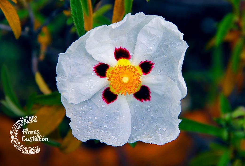 como cuidar la flor de jara