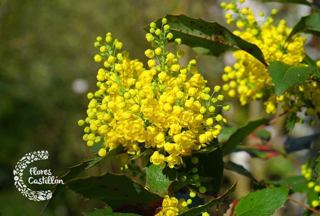 mahonia, planta del mes de febrero