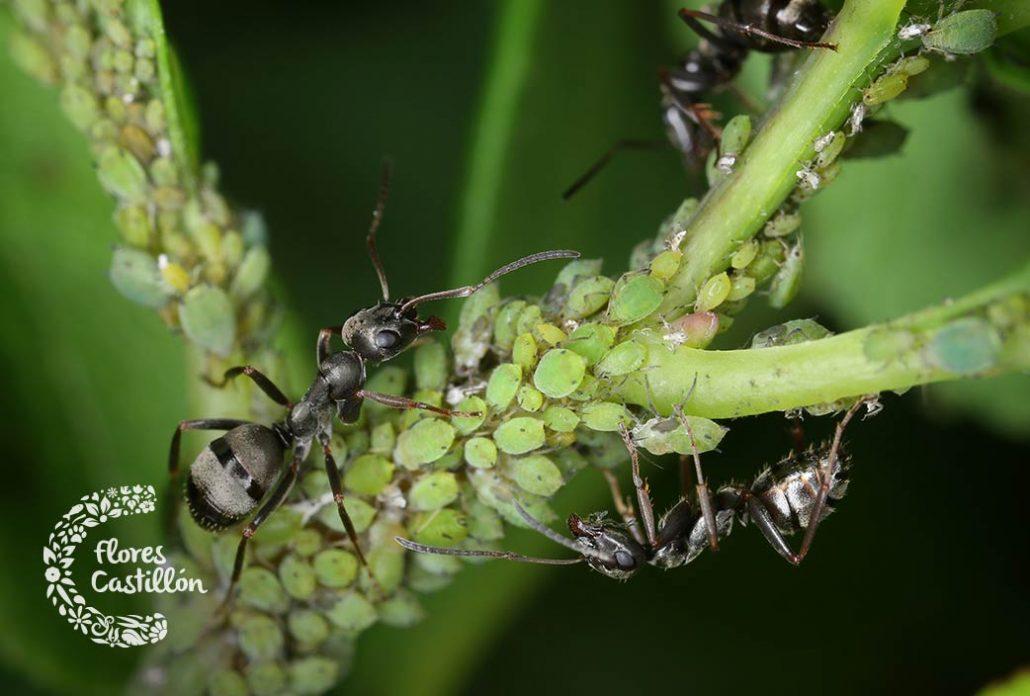 plaga de hormigas en el jardin